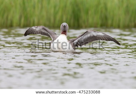 The red-throated loon or red-throated diver (Gavia stellata)