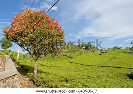The red tree and tea plantations