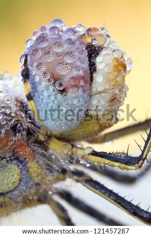 The Red-veined Darter extreme close-up of the Eye (Sympetrum fonscolombii)