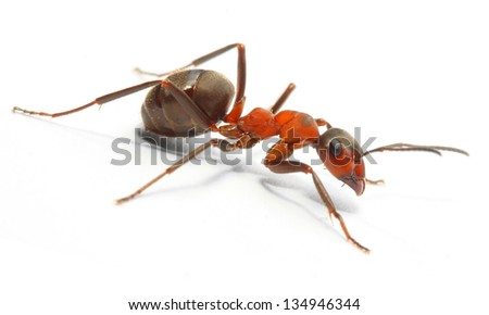 The Red Wood Ant (Formica Rufa). Close up with shallow DOF. - stock photo