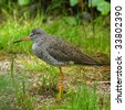 The Redshank (Tringa totanus) in National Park Bavarian Forest - Germany Europe - stock photo