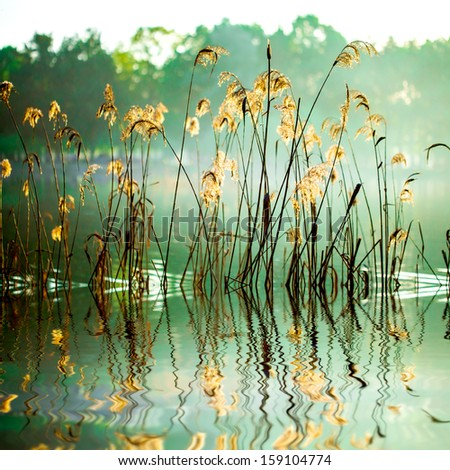 The reed in the evening. Tranquil scene. - stock photo