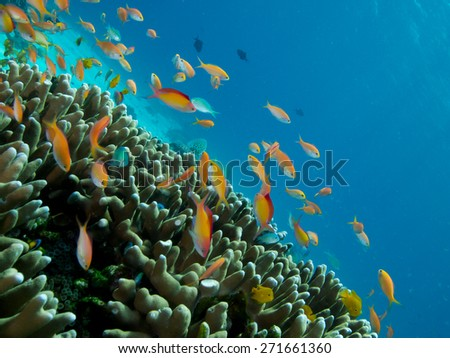 The reef tops of Menjangan Island, in Bali, support healthy coral growth and a diverse array of colourful reef fish species. - stock photo