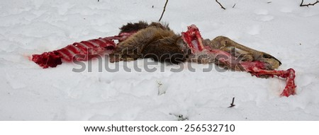 the remains of a deer caught by a predator, Czech Republic - stock photo