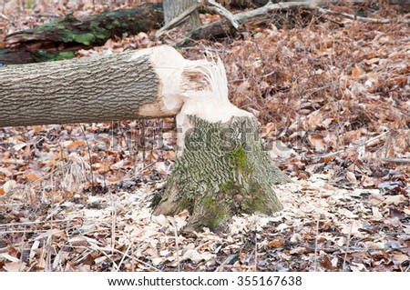 The results of what a busy beaver can cause to trees. - stock photo