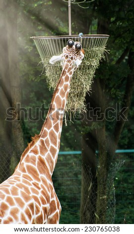 The reticulated giraffe (Giraffa camelopardalis reticulata) feeding hay. - stock photo
