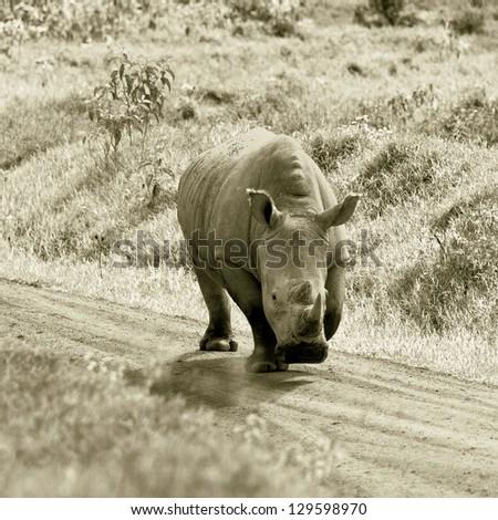 The rhinoceros at Lake Nakuru National Park - Kenya, East Africa (stylized retro) - stock photo