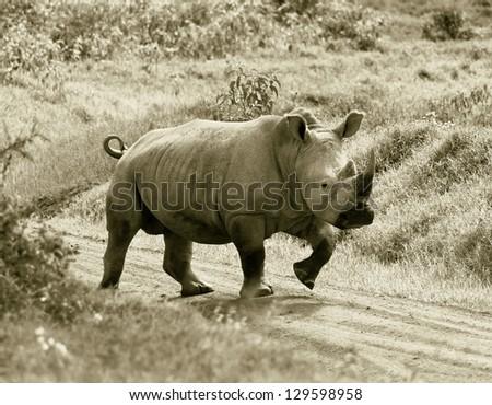 The rhinoceros at Lake Nakuru National Park - Kenya, Eastern Africa (stylized retro) - stock photo