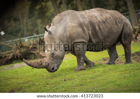 The rhinos ( Rhinocerotidae ) or rhinoceroses form a family of odd-toed ungulates with still five living species. They are characterized by a strong body and short limbs with three toes and a big head
