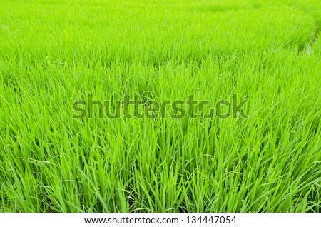 The rice farm in the country, Agricultural site in, Thailand