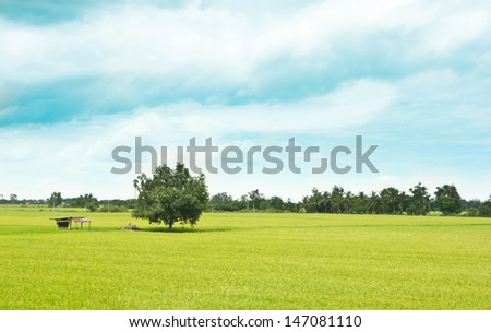 The rice field with cloudy sky background