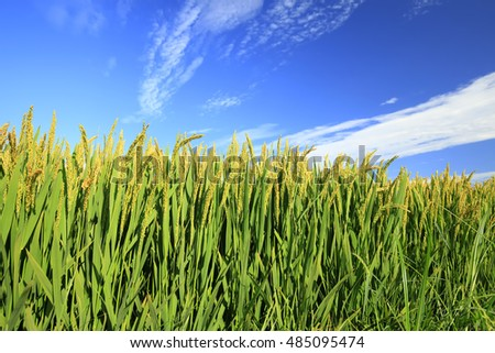 The rice in the field