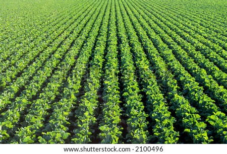 The rich green agricultural fields in California before the harvest - stock photo