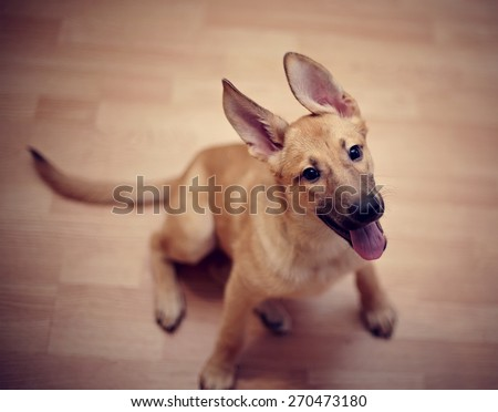 The ridiculous beige puppy of a mongrel sits on a floor. - stock photo