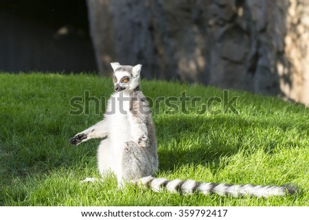 The ring-tailed lemur (catta)  basking in the sun.