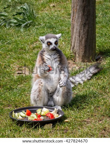 The ring-tailed lemur catta sitting on the grass, in front of you has a bowl with vegetables, lunch  - stock photo