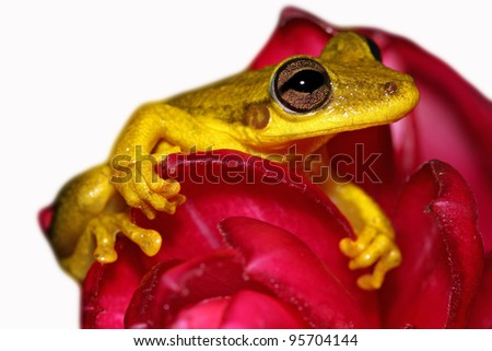 The Rio Negro Snouted Treefrog (Scinax chiquitanus) nestled in a pink flower in the Peruvian Amazon Isolated on white with space for text - stock photo