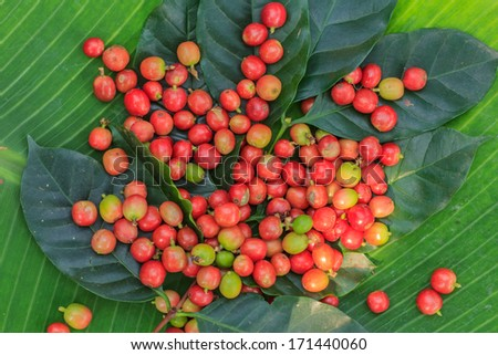 The ripe coffee in the garden, Thailand