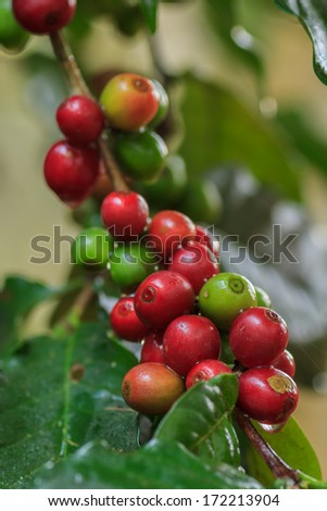 The ripe coffee in the garden, Thailand - stock photo