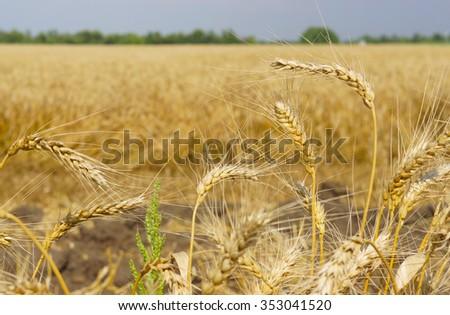 The ripe wheat ears close-up - stock photo