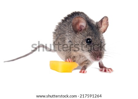 The risky mouse stole from mousetrap cheese. And eats it with pleasure. - stock photo
