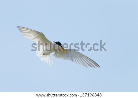 The River Turn (Sterna Aurantia) flying in the blue sky background