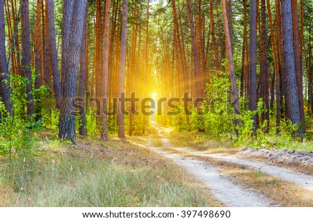 The road in a pine forest in the afternoon summer forest