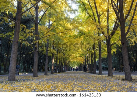 The road of ginkgo trees in Ditan of Beijing, China