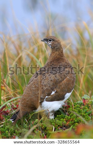 The Rock ptarmigan in a grass on the bank of the small lake in an autumn dress