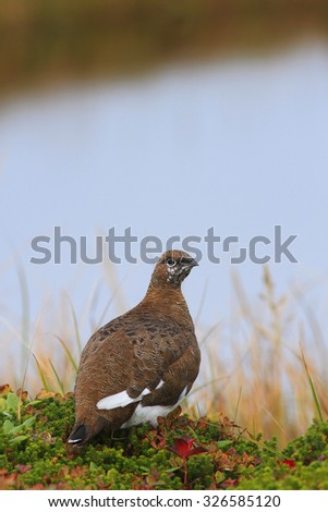 The Rock ptarmigan in an autumn dress in the tundra near the small lake