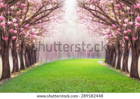The romantic tunnel of pink flower tree, Pink trumpet tree. - stock photo