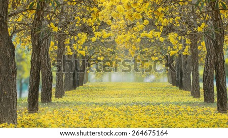 The romantic tunnel of yellow flower trees