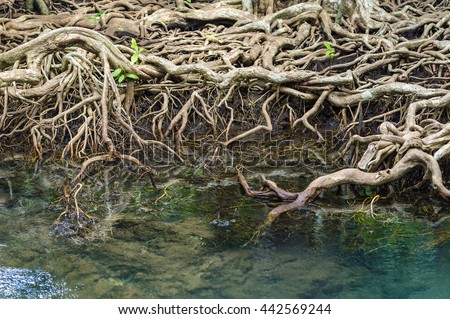 The roots of the mangrove trees, close up. - stock photo