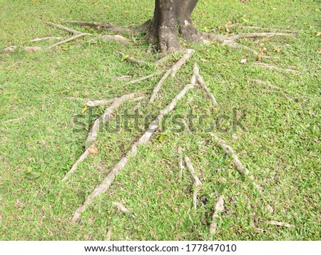 The roots of trees on the lawn - stock photo