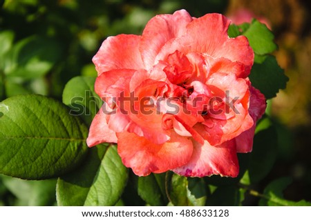The rosa chinensis flower closeup background and texture