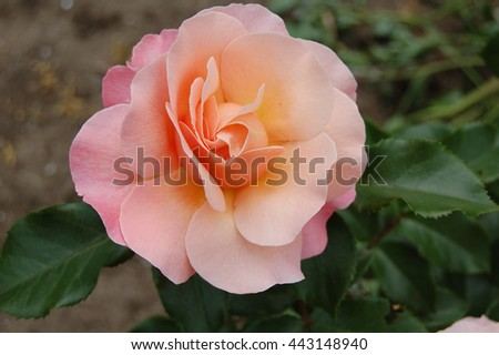 The rose color of the dawn. Flower blooming rose. Spring Botanical garden of Odessa. - stock photo
