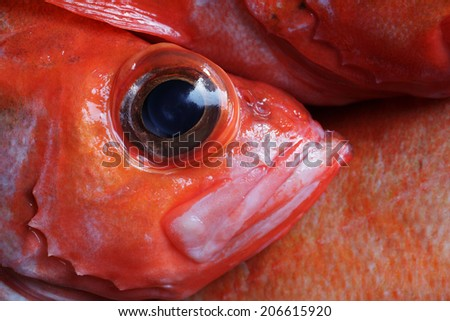The rose fish (Sebastes norvegicus, previously Sebastes marinus) eye. Pressure pops eyes out when the deep-water fish are taken to surface. Norwegian: uer, German: Rotbarch. Caught at Norwegian sea. - stock photo