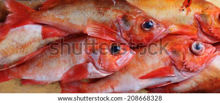 The rose fish (Sebastes norvegicus, previously Sebastes marinus). Pressure pops eyes out when deep-water fish are taken to surface. Norwegian: uer, German: Rotbarch. - stock photo