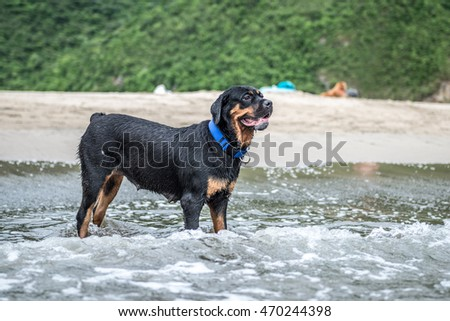 The Rottweiler playing at the beach