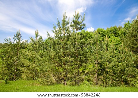 The row of pines on a hill in the coniferous forest.