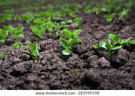 The rows of soybean leaves against the dark ground - stock photo