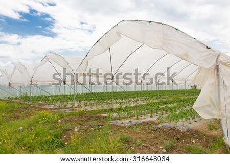 The rows of young bio paprika growing in large plant nursery. All seasons production of fruit and vegetables in the greenhouse. - stock photo