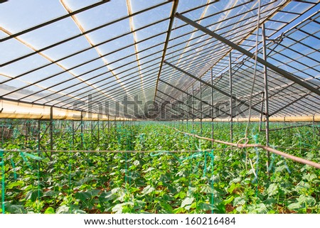 The rows of young plants growing in the greenhouse