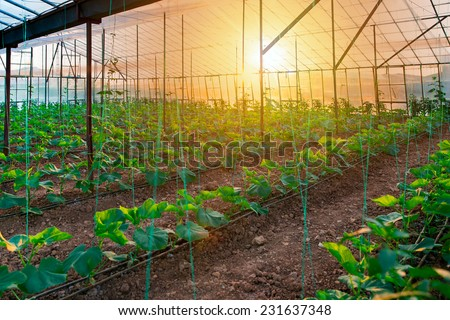 The rows of young plants growing in the greenhouse  - stock photo