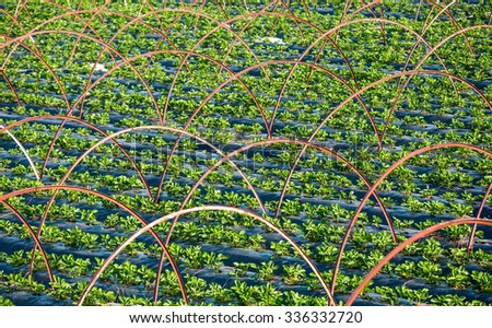 The rows of young plants ( strawberry) growing in the greenhouse - stock photo