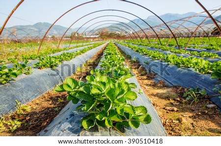 The rows of young plants (strawberry) growing in the greenhouse - stock photo