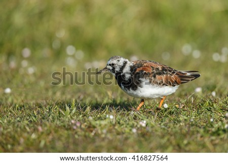 The ruddy turnstone (Arenaria interpret) breeding plumage.