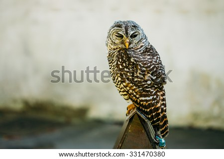 The rufous-legged owl (Strix rufipes) is a medium sized owl with no ear tufts. Wild bird. Close up head, face. - stock photo