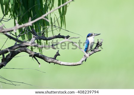 The sacred kingfisher (Todiramphus sanctus) is a medium-sized woodland kingfisher that occurs in mangroves, woodlands, forests, and river valleys in Australia, New Zealand, and the western Pacific.  - stock photo
