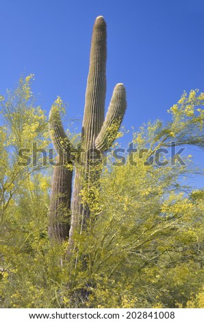 The saguaro is an arborescent (tree-like) cactus species in the monotypic genus Carnegiea,. It is native to the Sonoran Desert (Saguaro National Park) in the U.S. state of Arizona. - stock photo